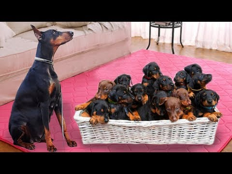 Mom Doberman Pinscher Dog Giving Birth To Many Cute Puppies- Life Of Dog Breed