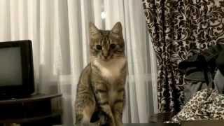 Реакция кошки на скотч.