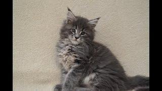 Котенок мейн кун играет/Kitten maine coon plays