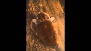 Реакция кота на спрей