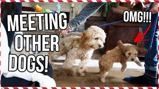 PUPPY MEETS OLDER VERSION OF HERSELF! Puppy Play Date!! | Vlogmas Day 17