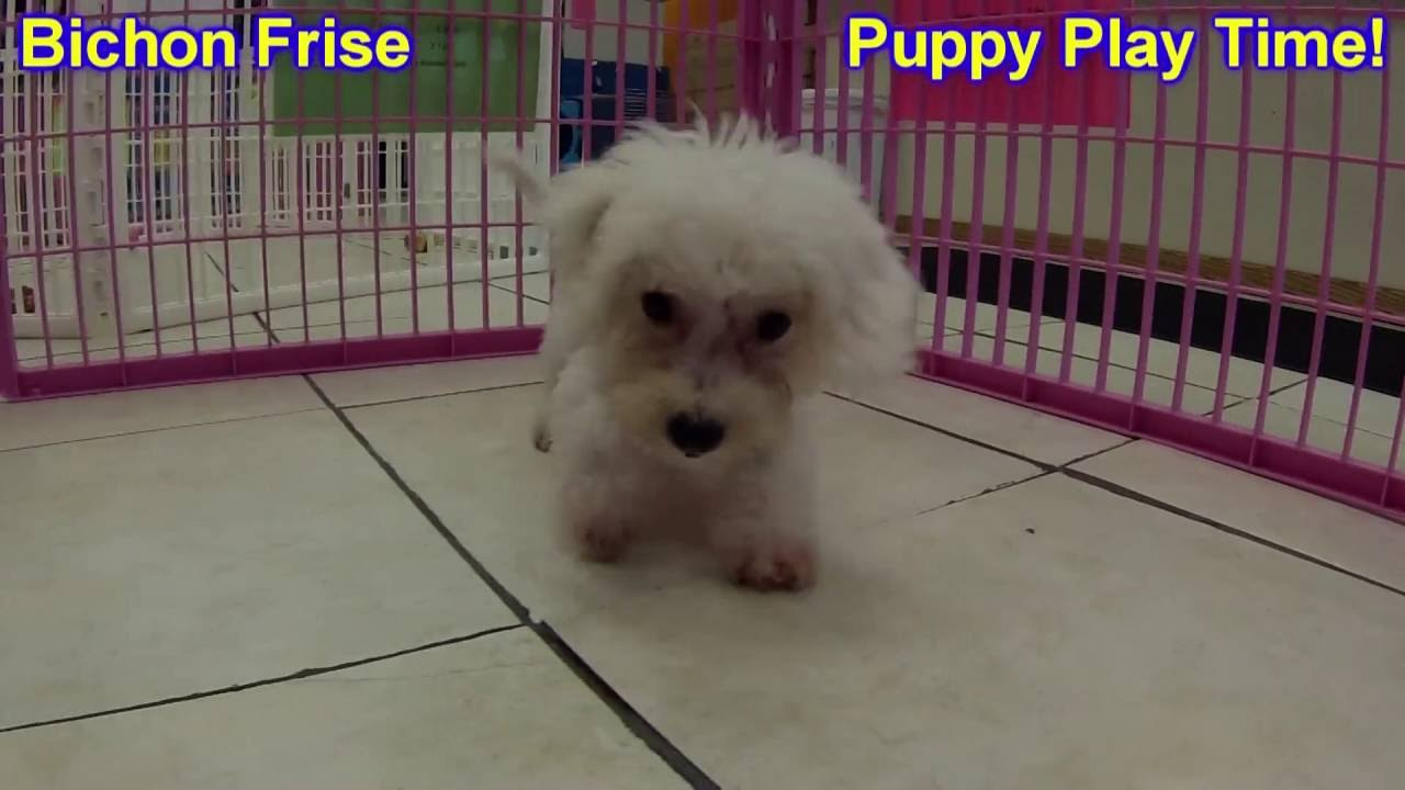 Bichon Frise, Puppies, Dogs, For Sale, In Kansas City ...