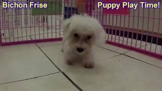 Bichon Frise, Puppies, For, Sale, In, Springfield, Missouri, Mo, St  Charles, St  Joseph, O'fallon,