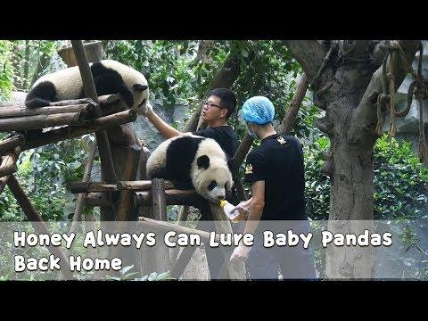 Honey Always Can Lure Baby Pandas Back Home   iPanda