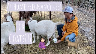 At Home Pregnancy Test for our GOATS!