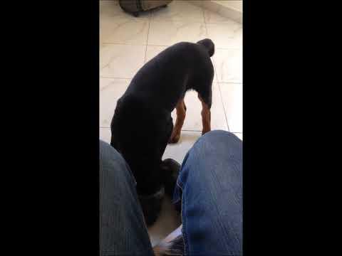 Rottweiler dog Dante