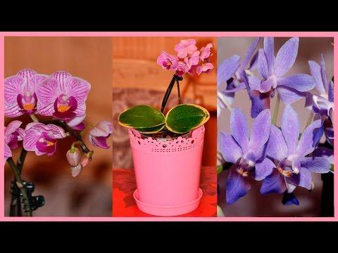 Две сказочные орхиды: голубая орхидея ❤ мини-орхидея сого вивьен вариегатный
