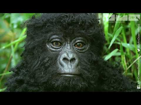 Will Robot Spy Gorilla Be Welcomed By The Great Silverback?