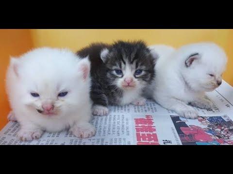 TOPs CLG American Curl kitten : 2 weeks
