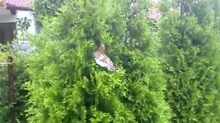 Latające Kury Odlot Wbita w choinkę Flaing Chicken Kura na Krzaku Liliputka na choince