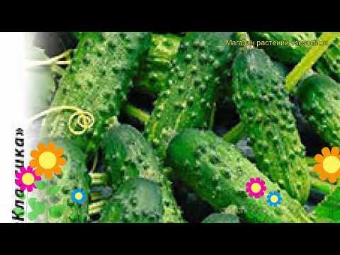 Огурец Вихрь F1 (Огурец). Краткий обзор, описание характеристик, где купить семена cucumis sativus