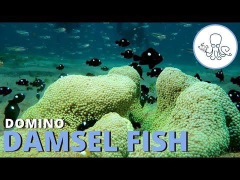 A Day In The Life Of A Domino Damsel Fish | Critter Hunter
