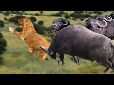 Download Angry Buffalo herd kills Lion who attack the baby, Wild Animals Attack