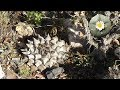Tutorial How to find PEYOTE in Mexico Part 1/3