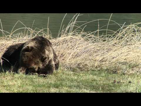 Grizzly bear after eating a bison carcass in Yellowstone