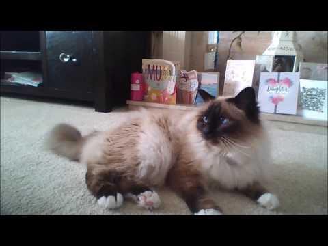 Burman Cat Life