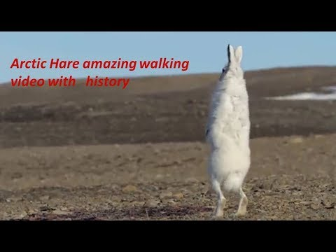 Arctic hare amazing walking  /predators / history-in HD