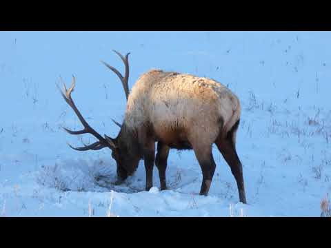 BIG bull elk foraging in snow, Yellowstone NP