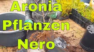Bio Aronia Pflanzen wurzelnackt für Aronia Plantagen