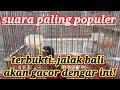 Masteran Jalak Kebo Sakti Paling Populer  Mp3 - Mp4 Download