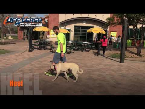 8 Month Old Shepherd | Best Anatolian Shepherd Dog Training Oklahoma | Off Leash K9 | Board & Train