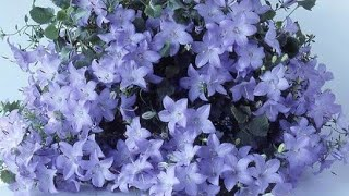КАМПАНУЛА. Конец сезона цветения, подготовка к зиме.