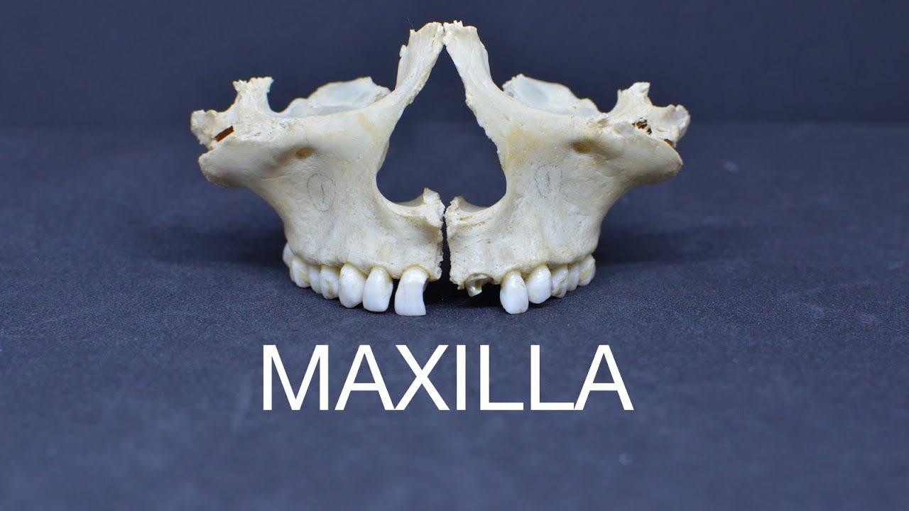 maxilla youtube