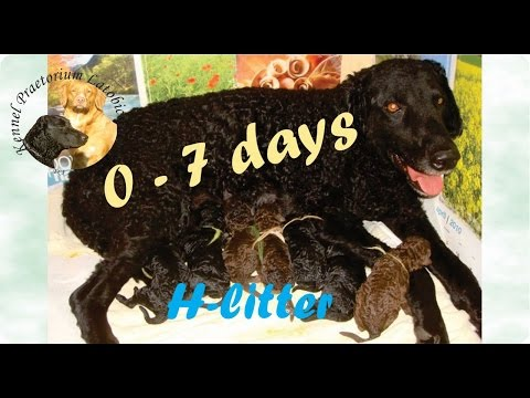 Curly coated retriever puppies 0 - 7 days old