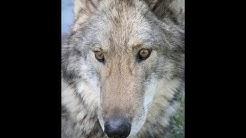 Wolf Profile Neo