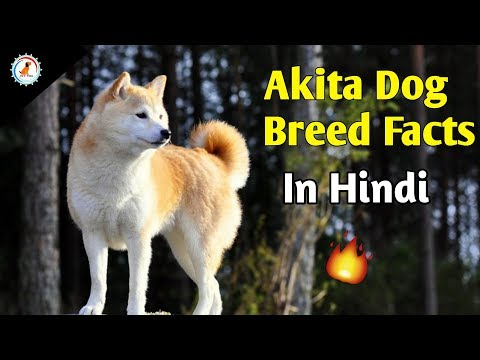 Akita Dog Breed Facts / In Hindi / Dog Facts /