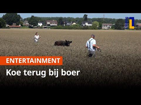Koe die 100 kilometer zwom weer veilig bij boer