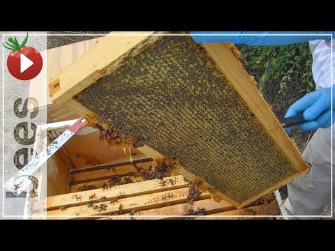 Harvesting MORE HONEY - losing one hive