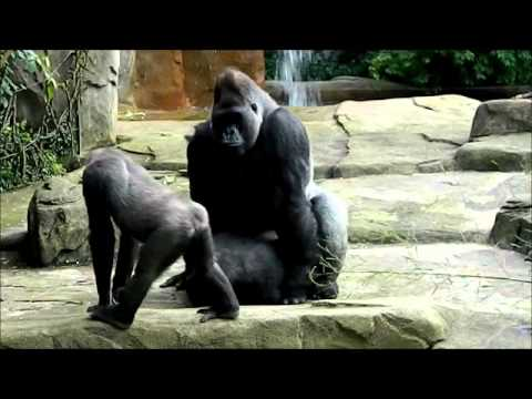 Big gorilla haveing sex