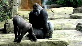 King Gorilla Sex