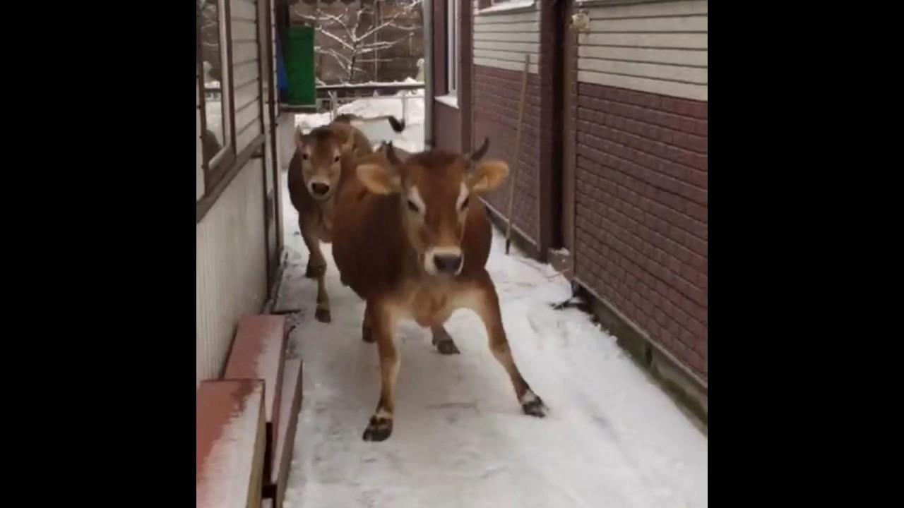 Adverno беларусь частные объявления и объявления компаний, цены и отзывы в разделе коровы беларусь. Коровы беларусь, купить коровы, продажа коровы, объявления, цены и отзывы на коровы доска объявлений adverno беларусь.