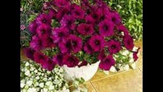 Как ПОСЕЯТЬ мелкие СЕМЕНА цветов.ЛЬВИНЫЙ ЗЕВ.ПЕТУНИЯ.и др.(, 2014-03-10T07:18:20.000Z)