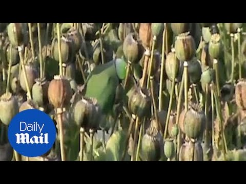 Parrots destroy crops in India to feed their opium habit