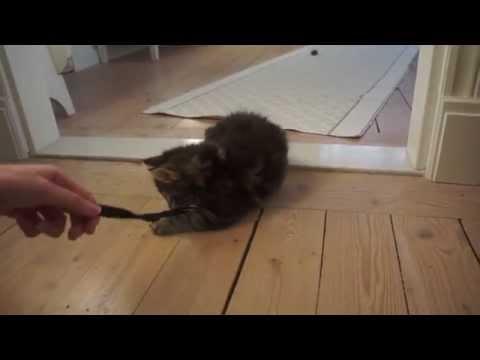 Cute Norwegian Forest Cat/Ragdoll Kittens