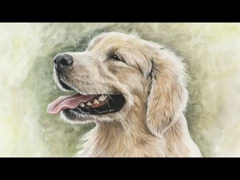 how i draw a golden retriever dog portrait disegnare un golden