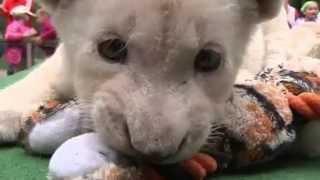 В венгерском зоопарке выходили двух редких белых львят (видео) http://9kommentariev.ru/(http://www.epochtimes.ru Два редких белых львёнка очаровали посетителей небольшого частного зоопарка на востоке Венг..., 2014-05-30T20:42:32.000Z)
