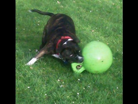 Staffordshire Bull Terrier Rex.