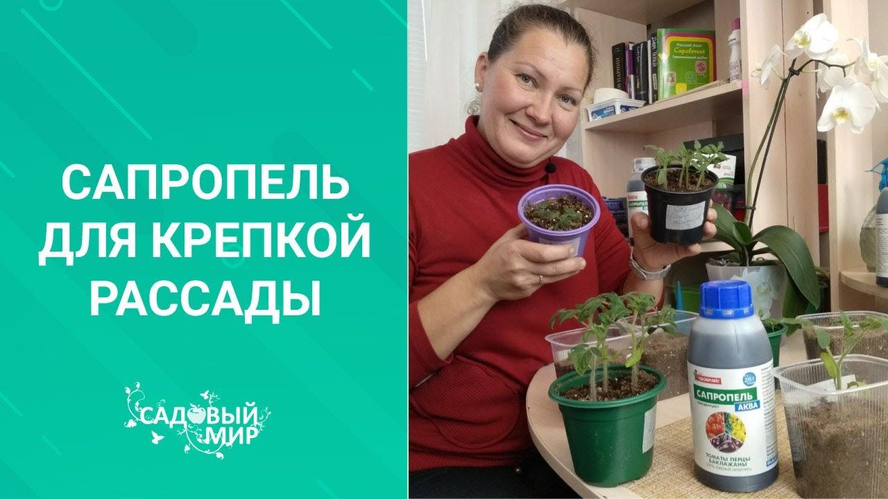 подкормка рассады томатов до пикировки дрожжами