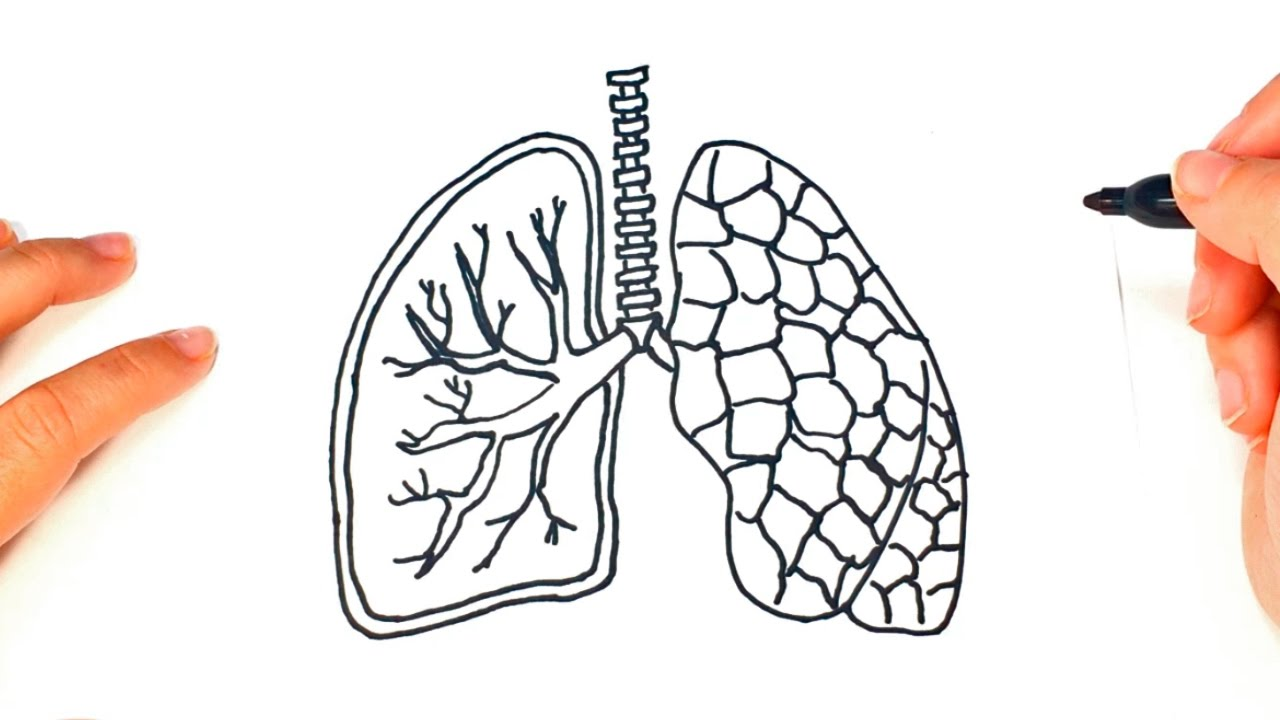 lungs sketch how to draw a lungs pair of lungs easy draw tutorial 9203