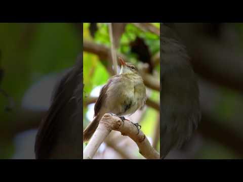 Seychelles Warbler on Cousin Island