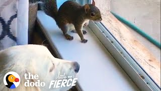 Baby Squirrel Grows Up In A Pack Of Dogs | The Dodo