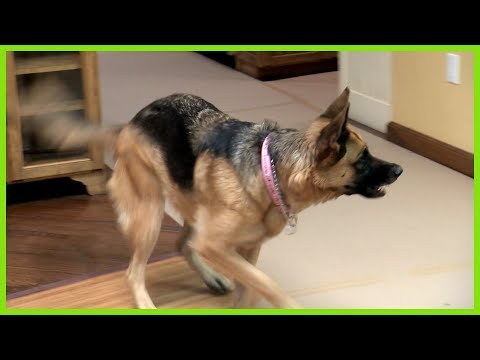 Aggressive German Shepard Problem - Solved by Cesar Millan