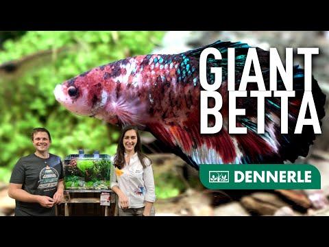 Der GIANT BETTA ist da! Sabrina Dichne von Züri Betta. Alles zum Thema Kampffisch!