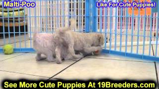 Maltipoo, Puppies, For, Sale, In, Minneapolis, Minnesota, Mn, Inver Grove Heights, Roseville, Cottag