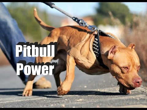 PITBULL DOG - POWER & STRENGTH FACTS