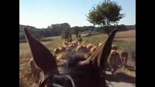 convoyage de bétail par la route